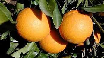 A casca de laranjas maduras torna-se laranja-claro em climas mediterrâneos.