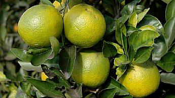A casca de laranjas maduras permanece verde-amarelada em climas tropicais.